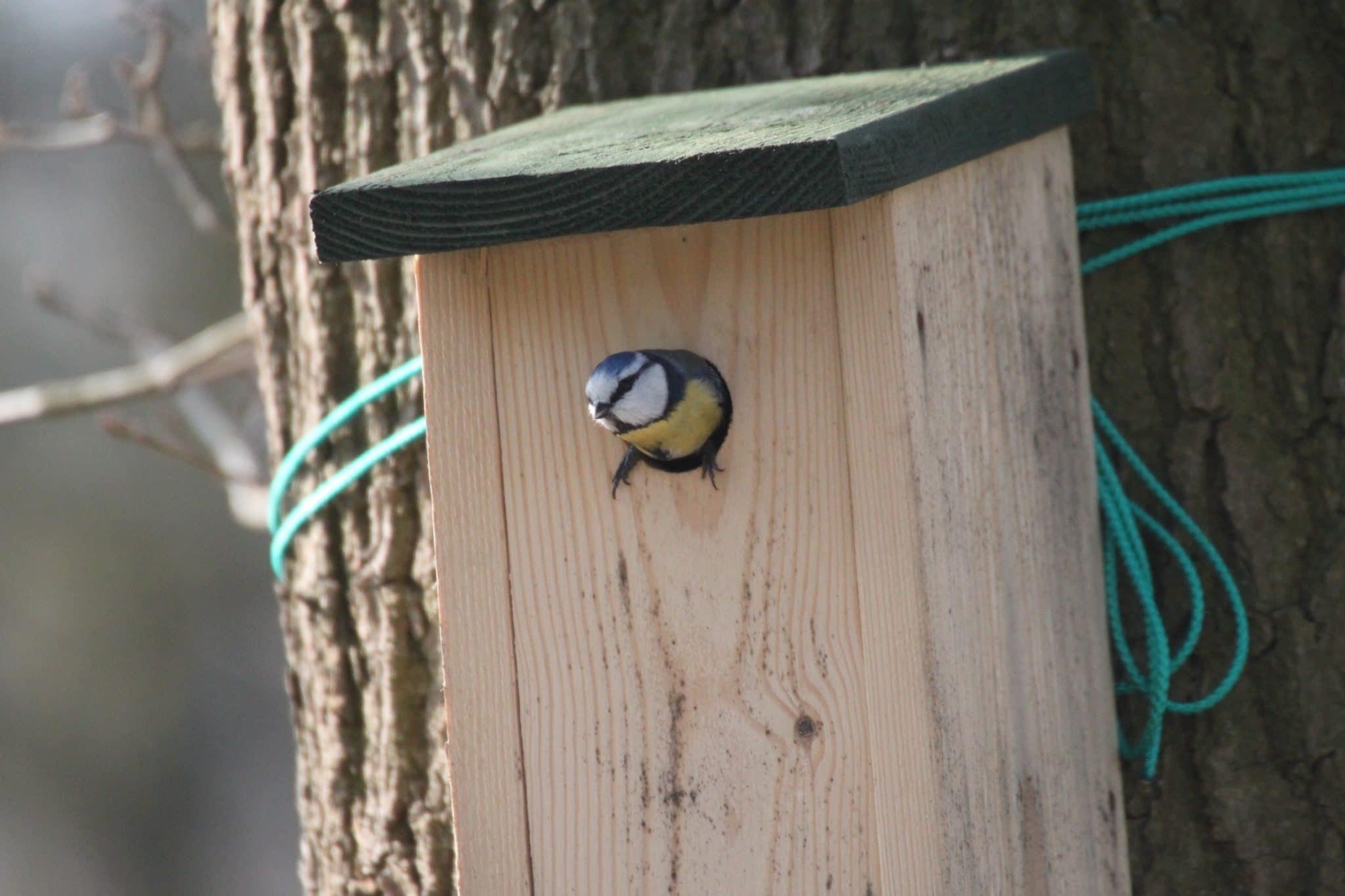 Pimpelmees inspecteert nestkast