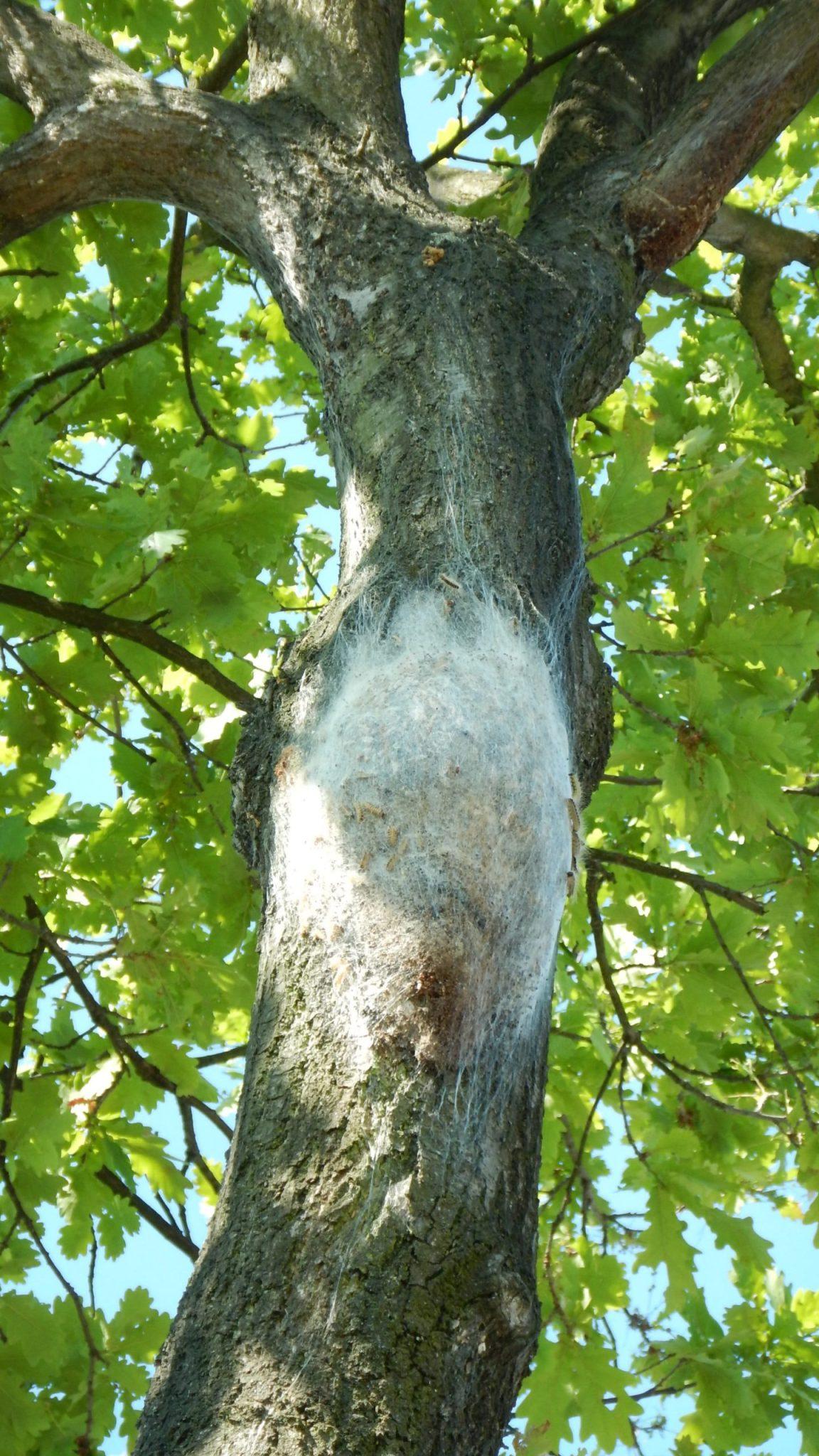 Monitoring eikenprocessierups 4defase nest