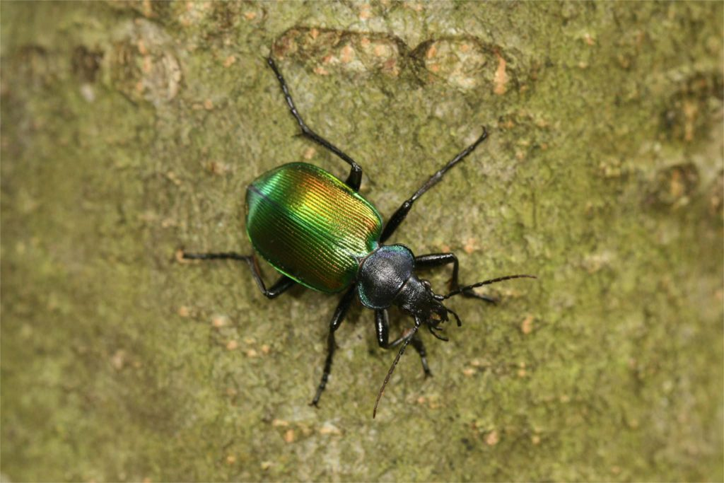 Projectacties Calosoma sycophanta - grote poppenrover-forest-caterpillar-hunter
